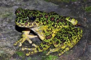 アマミイシカワガエル 蛙 カエル 奄美 両生類