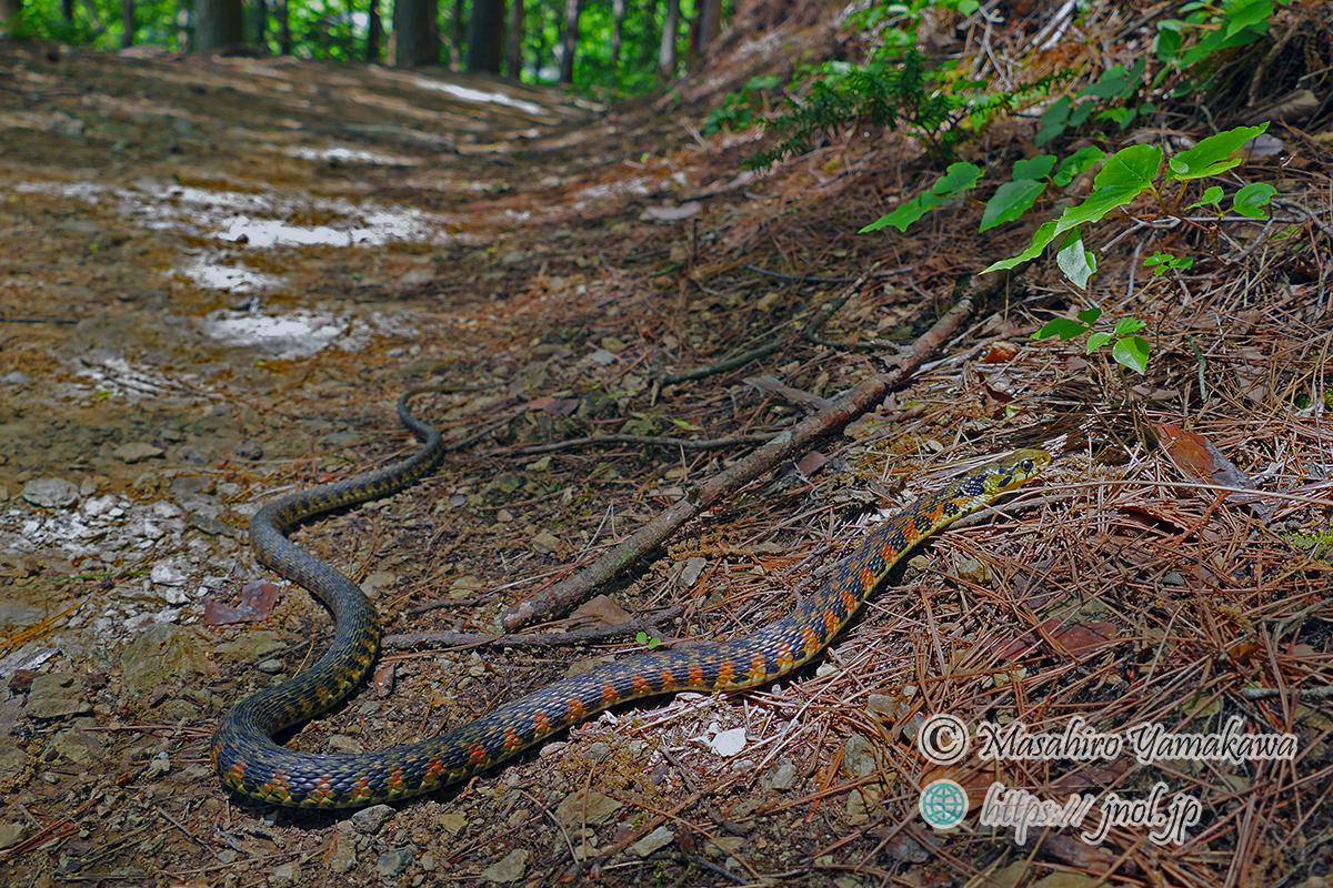 ヤマカガシ 毒蛇