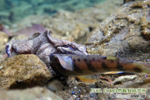 ヤマメに抱きつくナガレタゴガエル