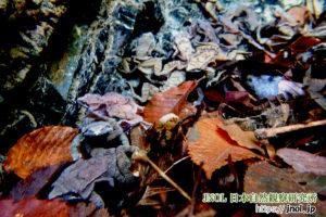 ナガレタゴガエルの繁殖シーン