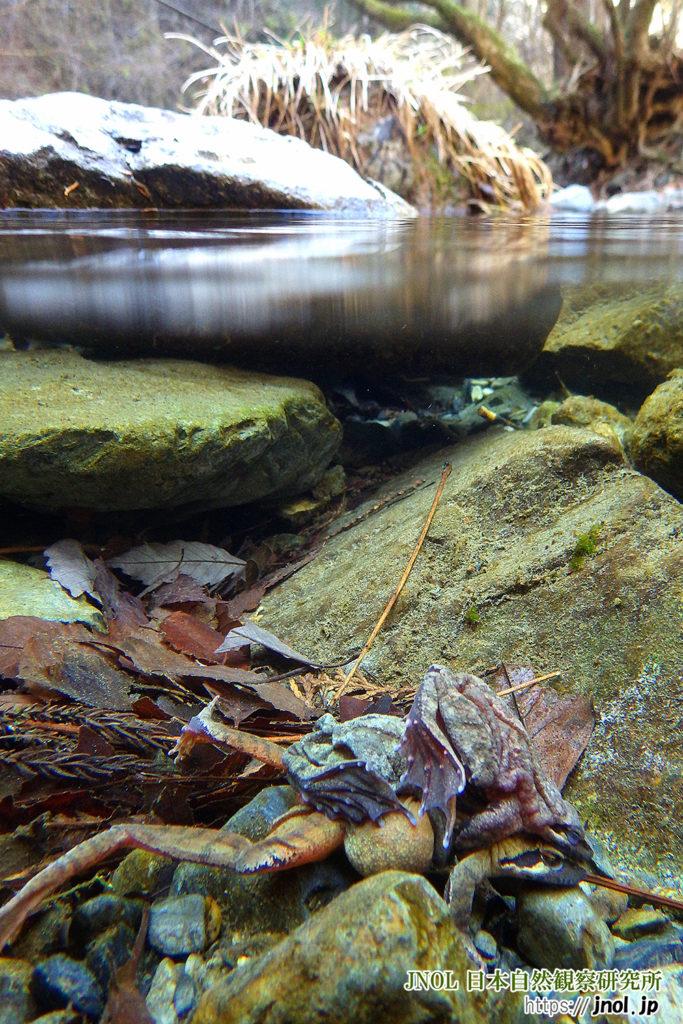 ナガレタゴガエルの抱接と、水面上の環境