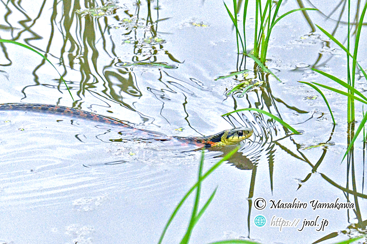 毒蛇ヤマカガシが水田で泳ぐ