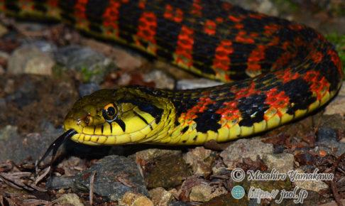 大型の毒蛇ヤマカガシ