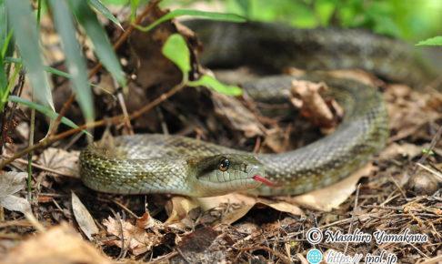 アオダイショウの写真。大型のヘビ。ネズミを食べる蛇。
