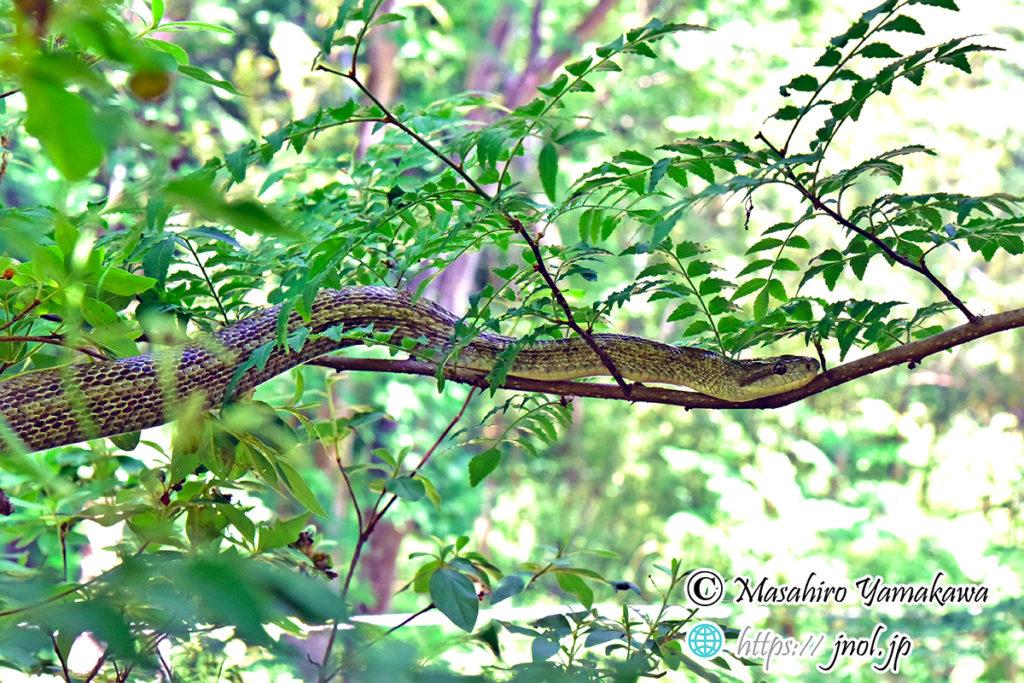 木に登るアオダイショウ