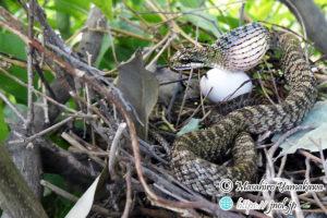 ハトの卵を呑むアオダイショウ。