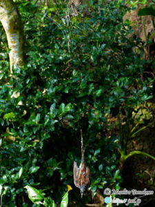 オオジョロウグモの巣にかかったサンコウチョウ