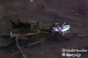 ヤマアカガエルの鳴き声と鳴嚢