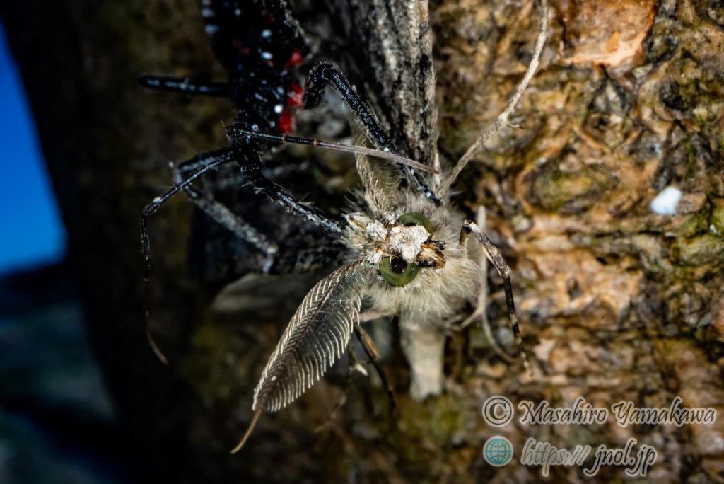 ヨコヅナサシガメの幼虫です