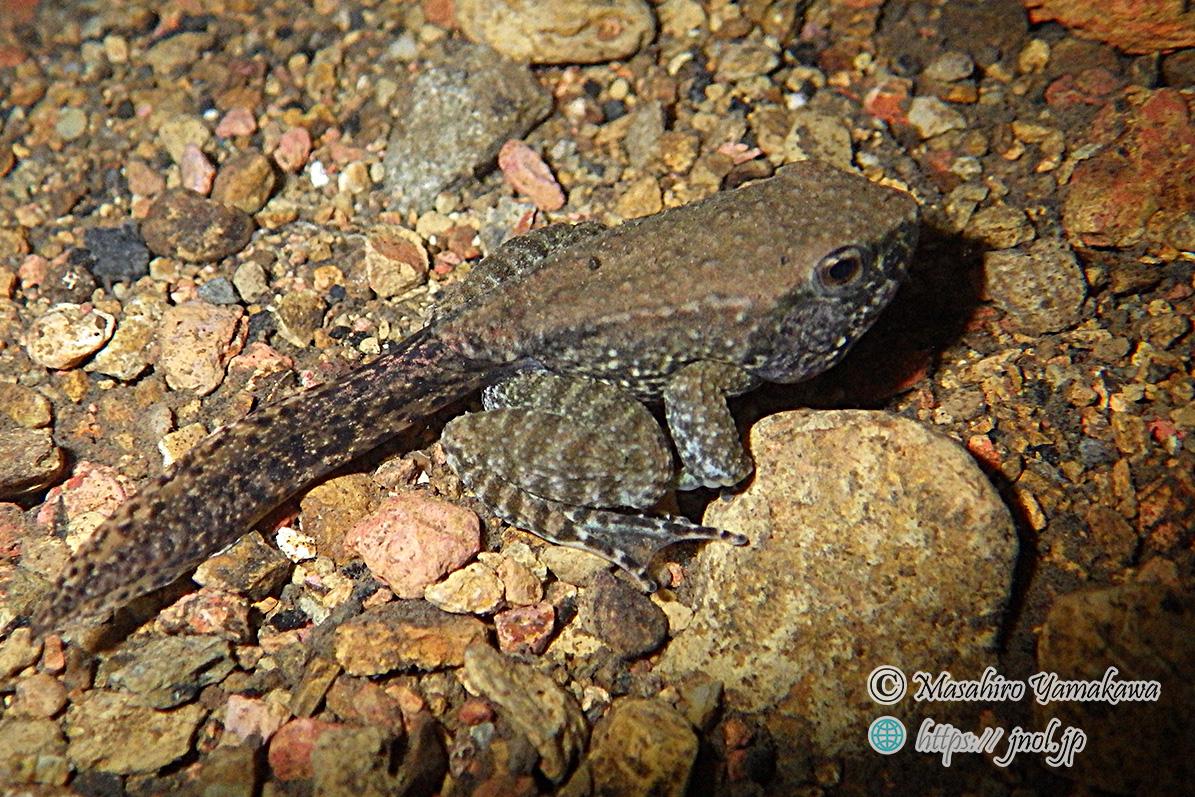 オットンガエルの尾のある幼体。奄美大島にて。種の保存法に指定されている。