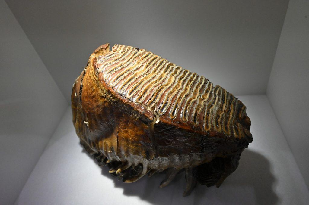 ケナガマンモスの歯(上顎左第3大臼歯)