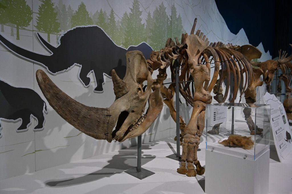毛サイの骨格標本