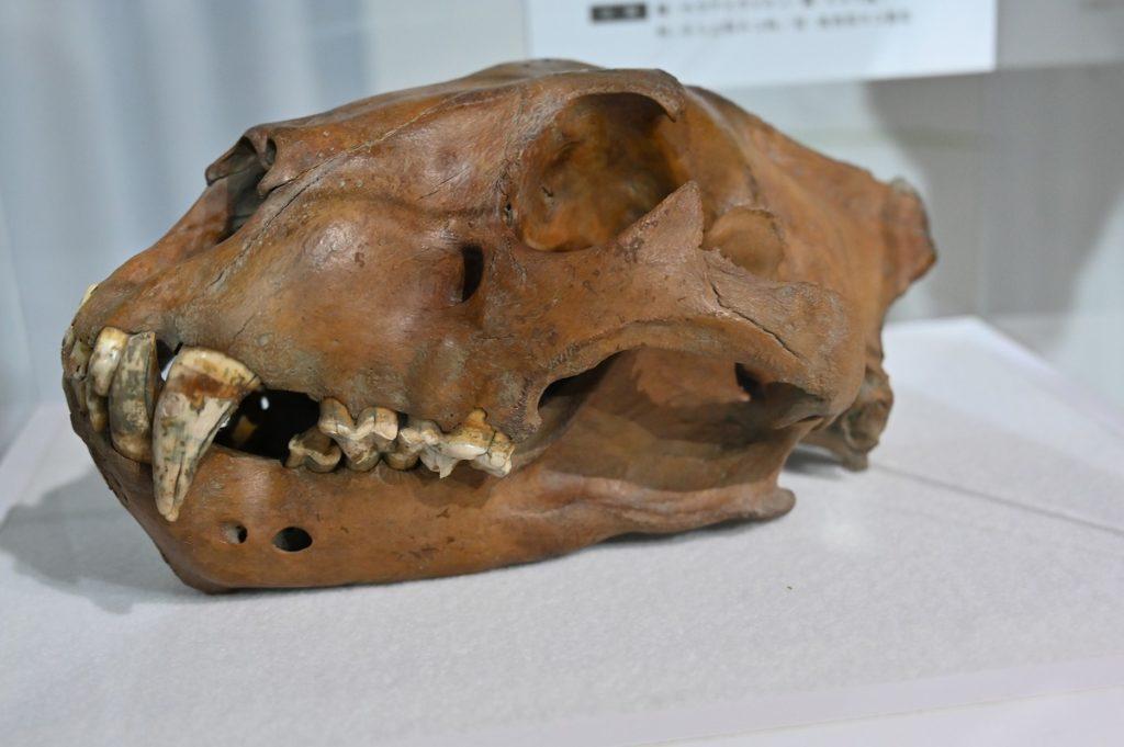 ホラアナライオンの頭骨