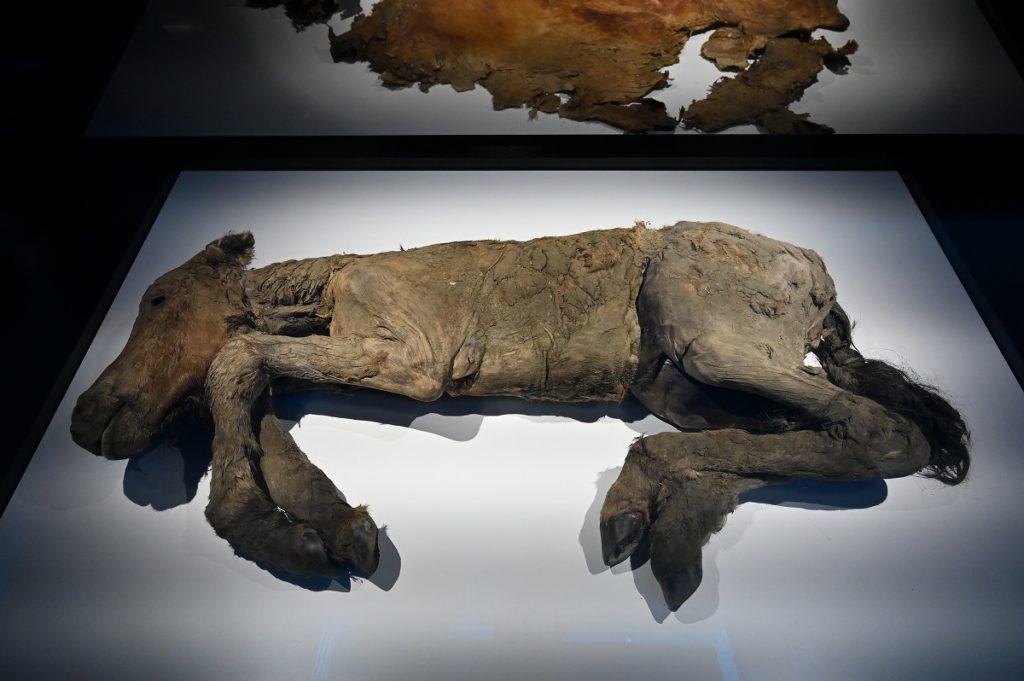 レナウマ(奇蹄目ウマ科 Equus lenensis)の冷凍標本、フジ